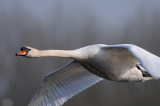 mute swan - knobbelzwaan - signe tuberculé