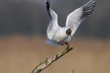 black-headed gull - kokmeeuw - mouette rieuse