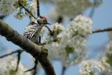lesser spotted woodpecker - kleine bonte specht - pic épeichette