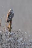 short-eared owl - velduil - hibou des marais