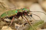 groene zandloopkever - cicindèle champêtre - green sand beetle