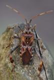 bladpootwants - punaise du pin - western conifer seed bug