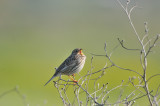 corn bunting - grauwe gors - bruant proyer
