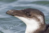 Razorbill in Florida,yes on both the ocean and gulf.