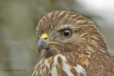 Red-shouldered Hawk, in my back yard.