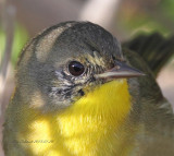 Common Yellowthroat, 1st winter male