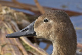 Canvasback , female
