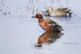 Cinnamon Teal,drake, showing those lovely colors.