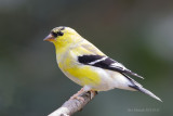 American Goldfinch, nice to see them turning bright yellow