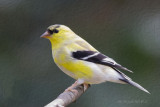 American Goldfinch ,PS6 oil painting filter.