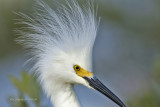 Snowy Egret,Merritt Island,Fl.