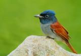 asian_paradise-flycatcher_2012