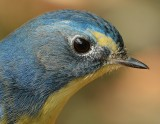 red_flanked_blue_tail_2012
