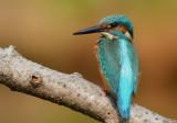 kingfisher_7100