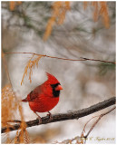 Cardinal in a Winter snow