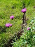 Alpine thistles