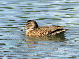 Green-winged Teal female 1.jpg