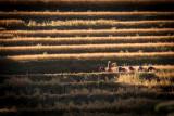 Rice Harvest, Punakha Bhutan
