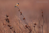 European Stonechat (Saxicola rubicola)