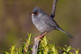 Marmora's Warbler (Sylvia sarda)