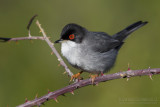 SardinianWarbler (Sylvia melanocephala)