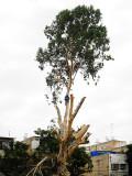 Eucalyptus Pruning