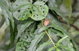 Myrmotherula pacifica female.jpg