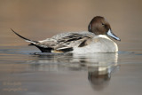 Canard pilet - Northern Pintail - 4 photos