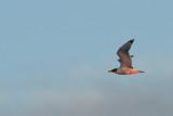 Svarthuvad trut - Pallas's Gull (Ichthyaetus ichthyaetus)