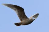 Vitvingad trut - Iceland Gull (Larus glaucoides)