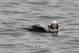 Alfågel - Long-tailed Duck (Clangula hyemalis)