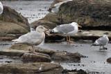 Vittrut - Glaucous Gull (Larus hyperboreus)