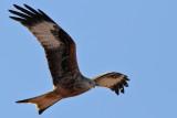 Röd glada - Red Kite(Milvus milvus)