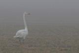 Sångsvan- Whooper Swan (Cygnus cygnus)