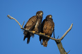 Bald eagles (juvenile)