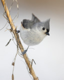 Tufted titmouse (photographed in Wisconsin)