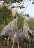 Great blue heron parent and chicks