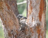 Great horned owl nest