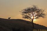 Ewe tree