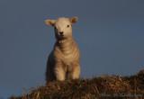 Hill top lamb