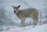 Cold lamb