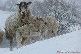 Lambs in a blizzard