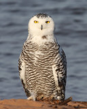 Snowy Owl - 16 November 2012