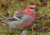 Pine Grosbeak 2264