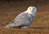 Snowy Owl - 21 November 2012