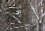 Northern Shrike 2510