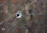 Northern Shrike 4827