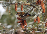 White-winged Crossbill 4604