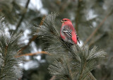 Pine Grosbeak 3841