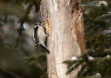 Downy Woodpecker 4320